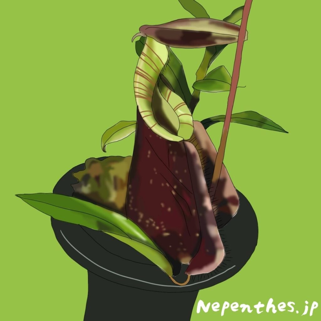 Nepenthes Rafflesiana ネペンテス・ラフレシアナ
